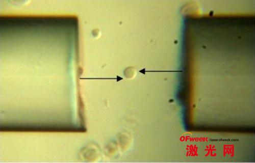 利用光学扳子捕获和旋转人类平滑肌细胞